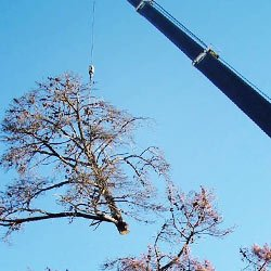 tree being removed using a crane from a property in Oshawa, ON