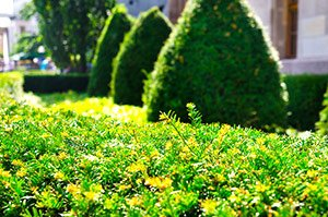 a long straight very nicely trimmed hedge, with finely shaped shrubbery in the background